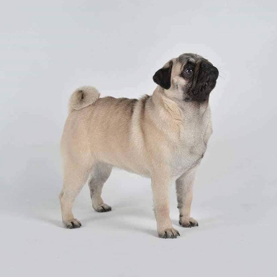 パグが枯葉の上でお散歩している写真